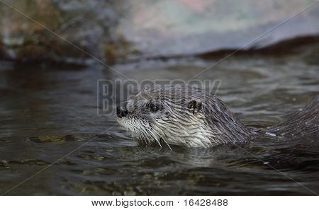 Otter - the cutest european mammal