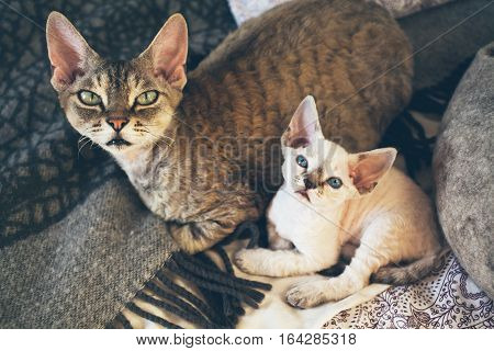 Portrait of a cute Devon Rex cats - mother with her small baby kitten. Cats are laying down on the bed together. Cats feeling relaxed and comfortable, looking at camera. Cat breeds, litter