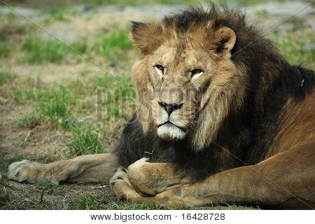 Sleepy majestic lion
