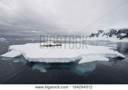 Crabeater seals on the iceberg in Antarctica