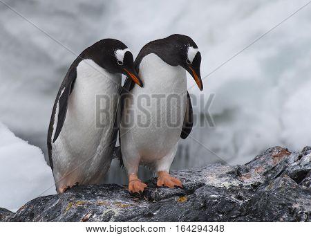 Two Gentoo Penguins on the rock in Antarctica