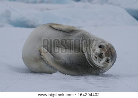 Crabeater Seal laying on the iceberg in Antarctica