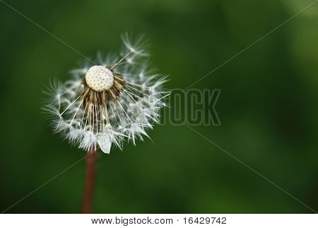 Dandelion right after a shower against green grass background