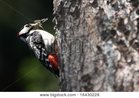 Great Spotted Woodpecker (Dendrocopos major) approaching his nest with his beak full of tasty insect for his young ones