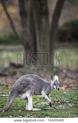 Close-up portrait of a Kangaroo (Macropus rufus) in nature