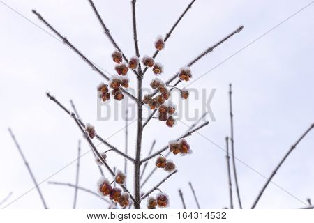 Common spindle (Euonymus europaeus) with hoarfrost and snow in contrast with sky