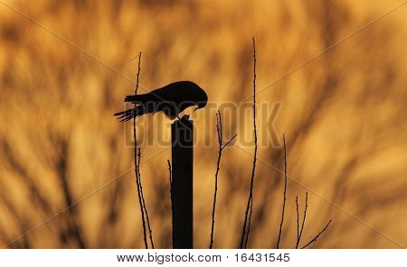 silhouette of a common kestrel (Falco tinnunculus) sitting on a pole and devouring its pray (small rodent) at dusk