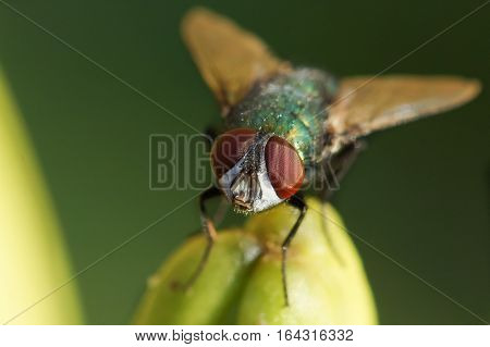 Ordinary green patalenitsa (lat. Lucilia caesar) is a member of the family calliphorid (Calliphoridae) from the subfamily Luciliinae.