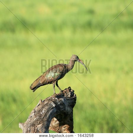 Hadada Ibis On Tree Trunk In Tarangire Tanzania
