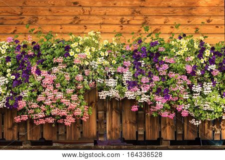 Petunia flowers and pelargonium blossom is blooming. Purple pink white yellow bloom