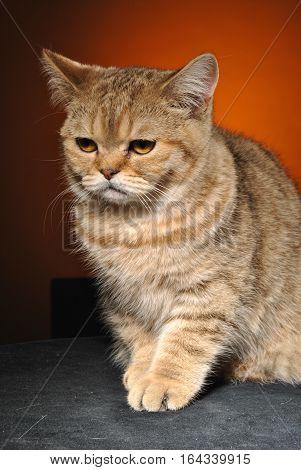 Brown ginger kitten misses on an orange background