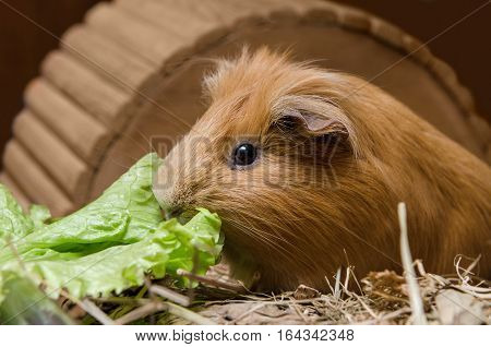 Portrait of cute red guinea pig eating salad leaf.