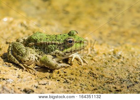 Green frog pond (lat. Pelophylax lessonae) on the sand