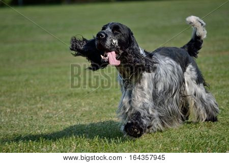 Black-and-white English Cocker Spaniel runs with tongue out