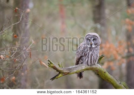 Great Grey Owl On Tree Branch