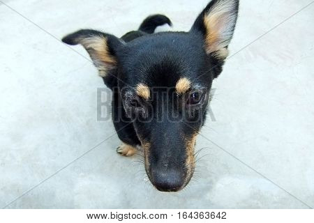 Black and gray dog with sad look