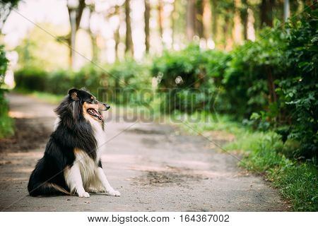 The Tricolor Rough Collie, Scottish Collie, Long-Haired Collie, English Collie, Lassie Adult Dog Sitting On The Park Alley In Summer Day. Boke Bokeh Green Copyspace Background.