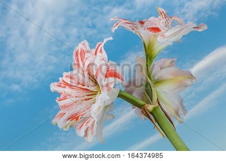 Amaryllis flower blossom isolated on clouds and blue sky