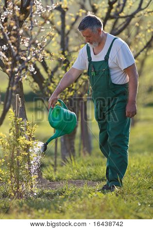 watering orchard/garden - portrait of a senior man gardening in his garden (color toned image)