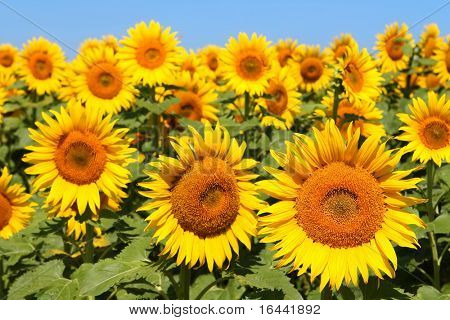 Campo de girasoles (foco delantero flor)