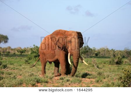 Red Elephant Tsavo East National Park Kenya