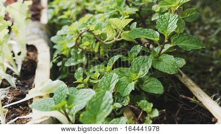 Green Mint, Peppermint Plant Growing In Bamboo Trunk