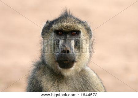 Baboon Tsavo East Kenya