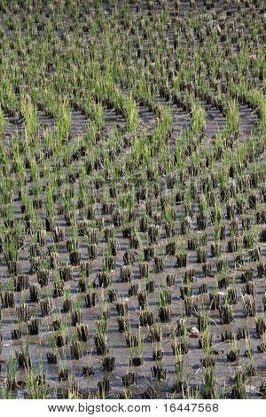 Circular Ricefield in Takayama Japan
