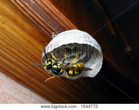 Wasp In Vespiary