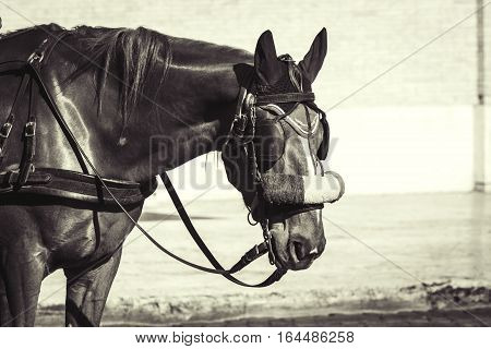 Horse. Portrait of a brown horse with bridle. Horse of a Roman chariot. Rome Italy.