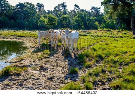 Backlit image of a small group of young white cows standing on a sandy beach at the edge of a natural pond in a Dutch nature reserve and looking curiously at the photographer.