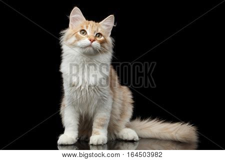 Red Siberian cat sitting and questioningly looking in camera on isolated black background with reflection, front view