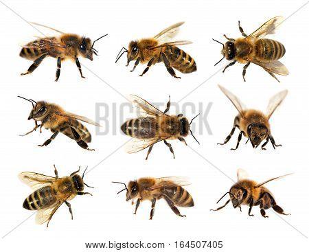 group of bee or honeybee in Latin Apis Mellifera european or western honey bee isolated on the white background golden honeybee