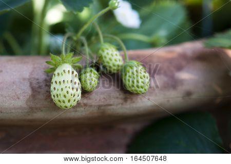 Green strawberries ripen on their vine in a summer garden.