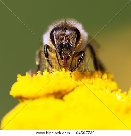 detail of bee or honeybee in Latin Apis Mellifera european or western honey bee pollinated of the yellow flower golden honeybee on flower