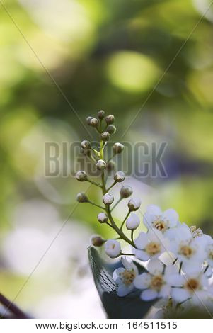 White choke cherry flower buds against a green background.