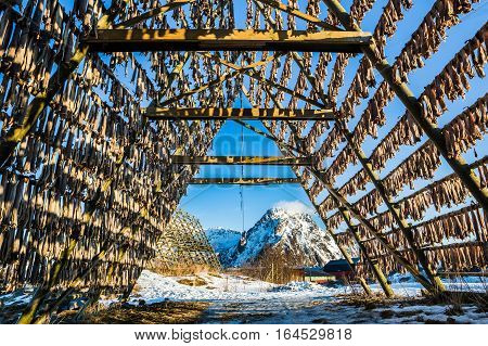 Stockfish hanging and drying on rack in Svolvaer, Lofoten Islands, Norway