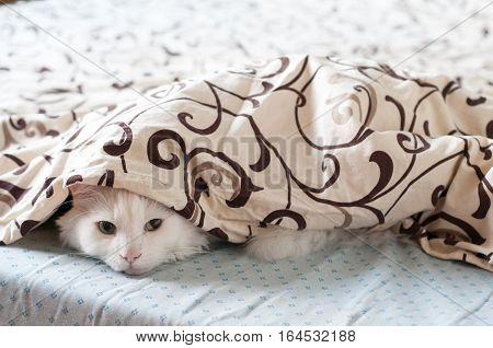 Cat hiding under a blanket. White cat in the bed. He is cute and feels cozy.