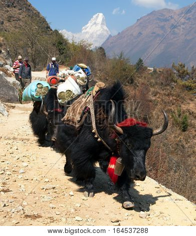 KHUMBU WALLEY NEPAL 28th MAY 2016 - yaks with goods and nepalese on the way to Everest base camp and Ama Dablam way to Everest base camp Nepal