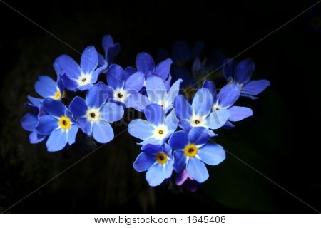 Forget-Me-Not - Myosotis.