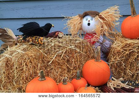 Humorous Thanksgiving picture - scarecrow dolls guarding pumpkins and corn surprised from crow eating (picking) seeds from maize (corn on knob) he has very surprise expression on face