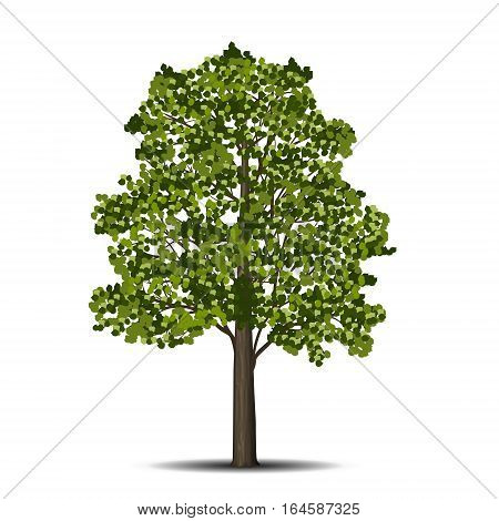 detached linden tree with leaves on a white background