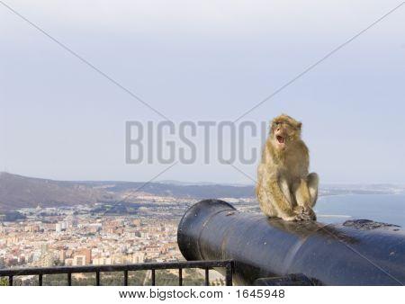 Gibraltar Monkey Yawning