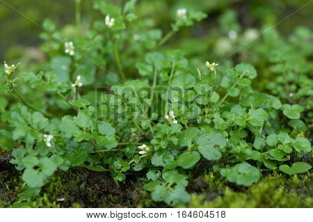 Hairy bittercress (Cardamine hirsuta) plant. Common weed and bitter edible herb in the mustard family (Brassicaceae).