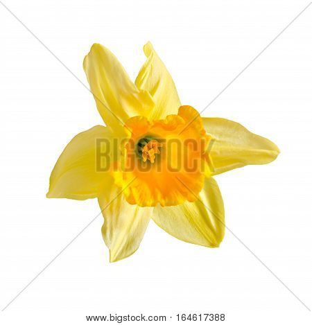 Yellow, Orange Daffodil Flower, Narcissus, Close Up, Isolated On A White Background.