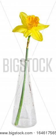 Yellow Daffodil, Narcissus Flower, Transparent Bottle, Close Up, Isolated On White Background.