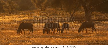 Wildebeest In Kalahari Sunset