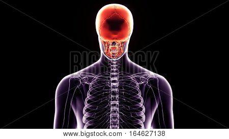 3d illustration human body back face skull