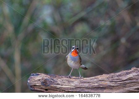 Beautiful Of Siberian Rubythroat Bird
