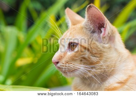 poster of orange cat, look some thing. Cute cat, cat lying on the wooden floor in the background blurred close up playful cats, cats relaxing vacation.